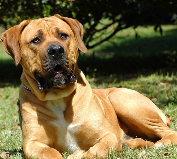 How to get a Boerboel puppy
