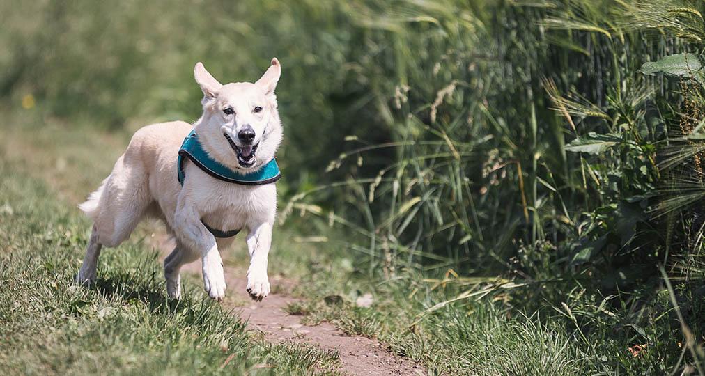 happy dog running outdoor