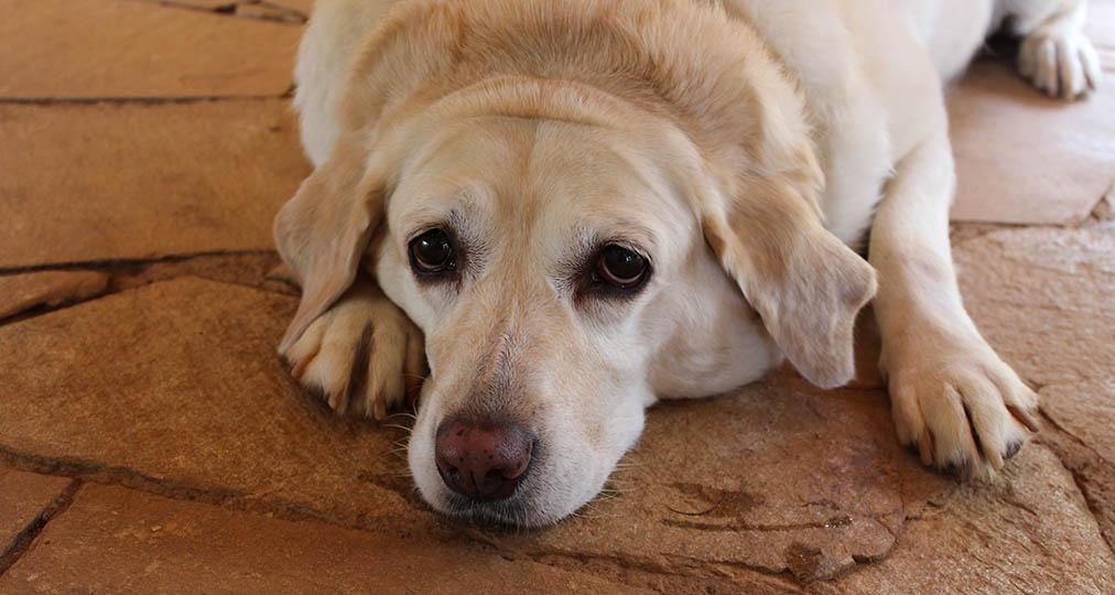 sad dog laying on the floor